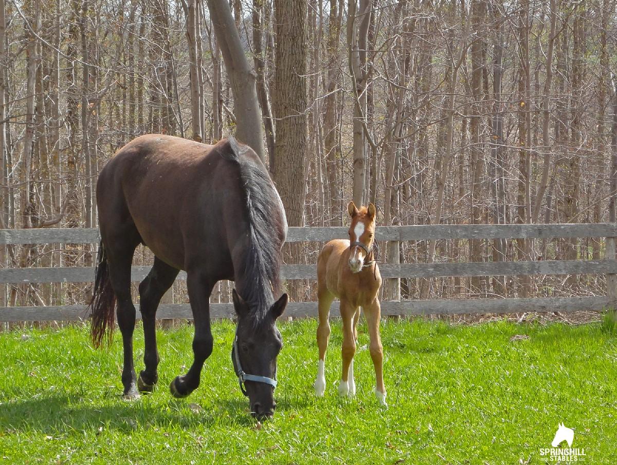 Hanoverian Horses For Sale Canada